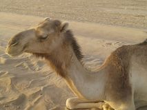 Camello de la rotura Fotos de archivo