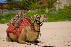 Camello de reclinación foto de archivo