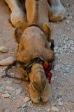 Camello de reclinación foto de archivo libre de regalías