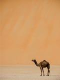 Camello debajo de la duna grande Fotografía de archivo libre de regalías