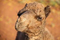 Camello del bebé Foto de archivo libre de regalías