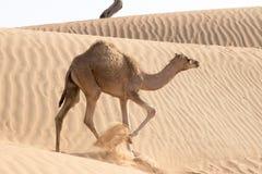 Camello del bebé Imágenes de archivo libres de regalías