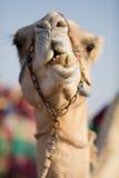 Camello del club del camello de Dubai que mastica la comida Fotos de archivo