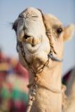 Camello del club del camello de Dubai que mastica la comida Foto de archivo libre de regalías