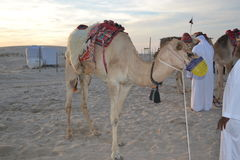 Camello del desierto Fotos de archivo
