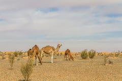 Camello del dromedario Fotos de archivo libres de regalías