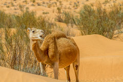 Camello del dromedario Imagen de archivo libre de regalías