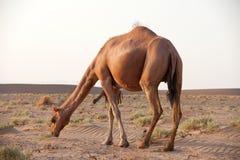 Camello del dromedario en Irán imagen de archivo