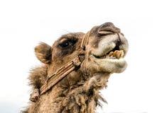 Camello del luchador Imágenes de archivo libres de regalías