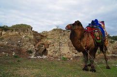 Camello del luchador que espera su vuelta en atado a un edificio en Selcuk, Esmirna/Turquía fotografía de archivo