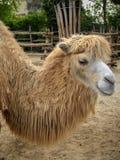 Camello del parque zoológico en Budapest Foto de archivo libre de regalías