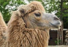 Camello del parque zoológico en Budapest, Hungría Foto de archivo libre de regalías