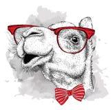 Camello del retrato de la imagen en el pañuelo y con los vidrios Ilustración del vector Imágenes de archivo libres de regalías