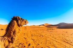 Camello delante de las dunas de arena en el desierto del Sáhara al lado de Mhamid - Marruecos Imagen de archivo libre de regalías