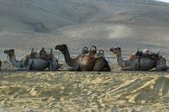 Camello (dromedario) Imagen de archivo libre de regalías