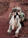 Camello en desierto imágenes de archivo libres de regalías