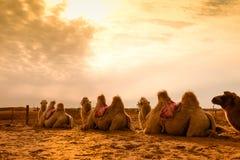 Camello en desierto Imagen de archivo