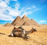 Camello en desierto arenoso imágenes de archivo libres de regalías
