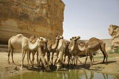 Camello en desierto del boker del sede foto de archivo