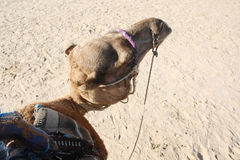 Camello en Douz Fotografía de archivo
