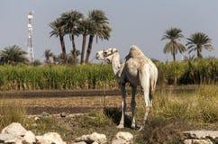 Camello en el campo de la caña de azúcar Fotografía de archivo