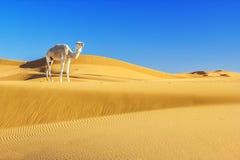 Camello en el desierto foto de archivo