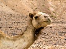 Camello en el desierto Fotos de archivo libres de regalías