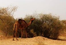 Camello en el desierto de Thar del indio Imagen de archivo libre de regalías