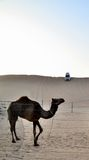 Camello en el fondo de la duna, Dubai Fotos de archivo