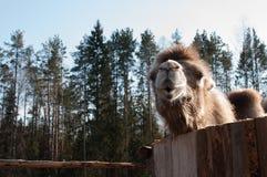 Camello en el invierno para un paseo Fotos de archivo