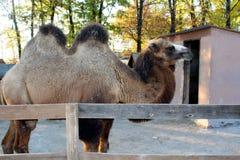 Camello en el parque zoológico Foto de archivo