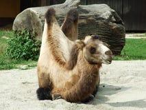 Camello en el parque zoológico en Zagreb imagenes de archivo