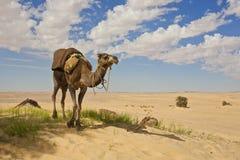 Camello en el Sáhara Fotografía de archivo libre de regalías
