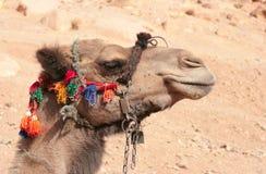 Camello en harness colorido Fotos de archivo