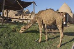 Camello en la ciudad de Harran, Turquía Imágenes de archivo libres de regalías
