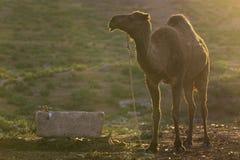 Camello en la ciudad de Harran, Turquía Fotografía de archivo libre de regalías
