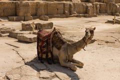 Camello en la pirámide de Giza, El Cairo en Egipto Imagen de archivo