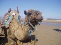 Camello en la playa Foto de archivo