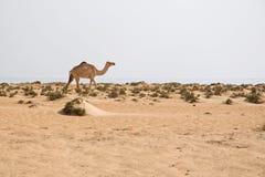 Camello en la playa Imágenes de archivo libres de regalías