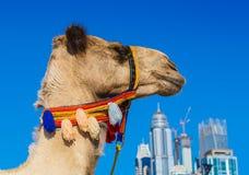 Camello en la playa de Jumeirah en Duba Imagenes de archivo