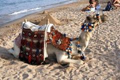 Camello en la playa - Mar Rojo Imagen de archivo