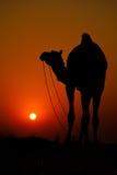 Camello en la puesta del sol Imágenes de archivo libres de regalías