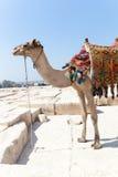 Camello en las pirámides de Giza, Egipto Imagen de archivo libre de regalías