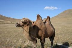 Camello en los pasos de progresión de Mongolia Fotografía de archivo