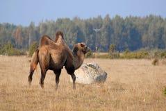 Camello en prado en Oland Fotos de archivo