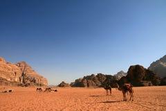 Camello en ron del lecho de un río seco Imagen de archivo