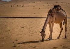 Camello en Sáhara imágenes de archivo libres de regalías