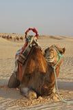 Camello en un desierto Imágenes de archivo libres de regalías