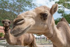 Camello en un parque zoológico Imagen de archivo