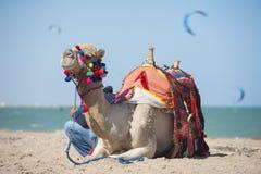 Camello en una playa con las personas que practica surf de la cometa Foto de archivo libre de regalías